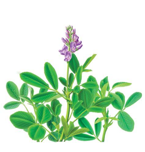 Herbal Alfalfa alfalfa herbal supplement herbal teas