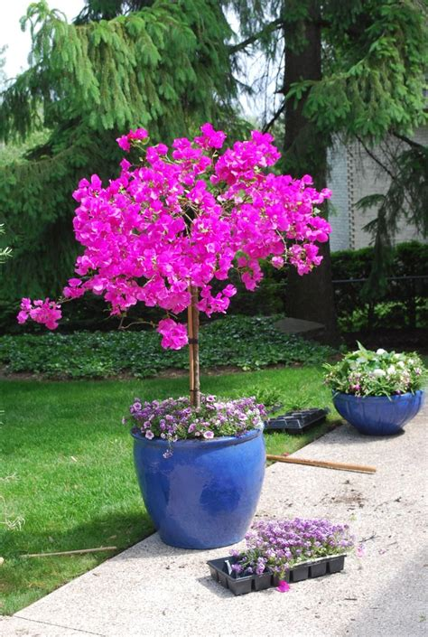 Potted Trees For Patio by Best 20 Potted Trees Ideas On Lemon Plant
