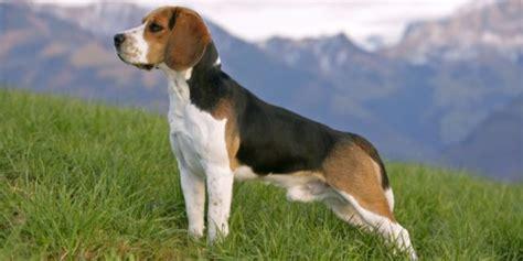 beagle alimentazione beagle carattere prezzo caratteristiche cure e