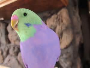awesome parakeet photos my parakeet clarabelle