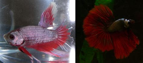 betta colors fish writes color changes in bettas