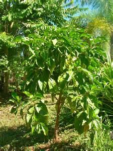 Tropical Themed Food - noni tree experience raw