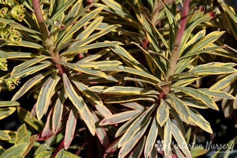 ascot rainbow variegated spurge