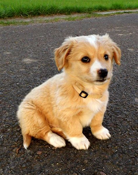 golden retriever puppies chandler az 25 best ideas about corgi chihuahua mix on husky chihuahua mix corgi