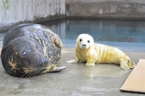 pup seal smithsonian s national zoo welcomes new seal pup to gray