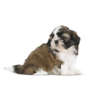 shih tzu corgi shih tzu corgi mix car interior design