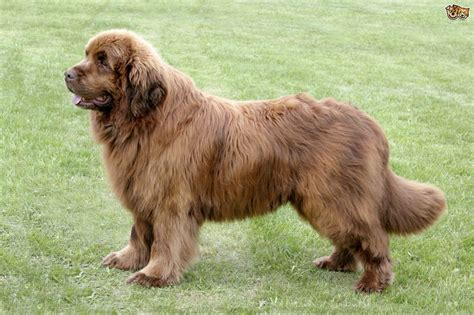 newfoundland breed newfoundland breed information buying advice photos and facts pets4homes