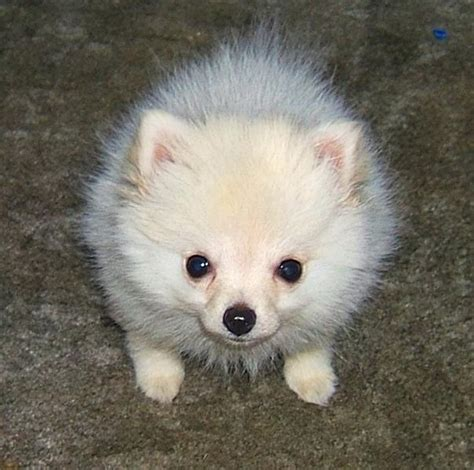 looking for pomeranian puppy looking pomeranian puppy jpg 2 comments