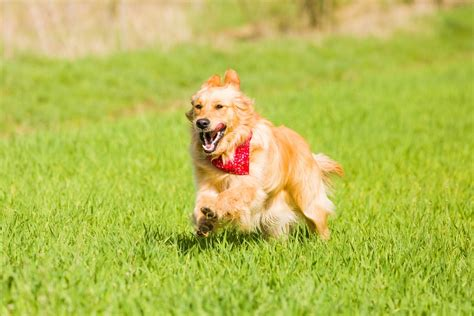 puppy zoomies ask the trainer what causes my to do the zoomies the dogington post