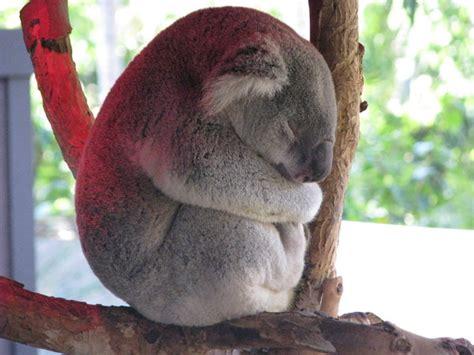 koala schlaf bild 1 aus beitrag wenig schlafen lange schlafen
