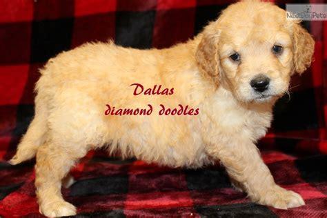mini goldendoodles dallas mini dallas goldendoodle puppy for sale near joplin