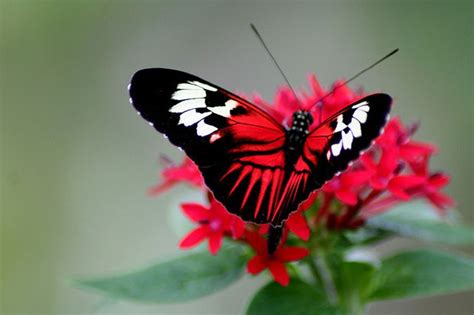 red and black butterflies black white and red butterfly butterflies pinterest