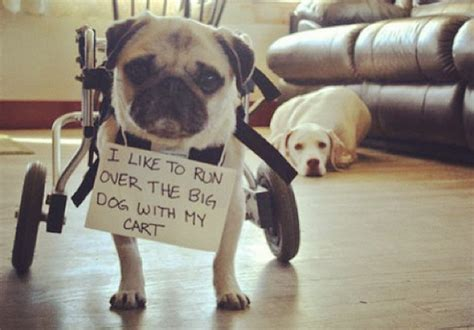 why pugs are the best dogs 10 photos that prove pug shaming is the best of shaming
