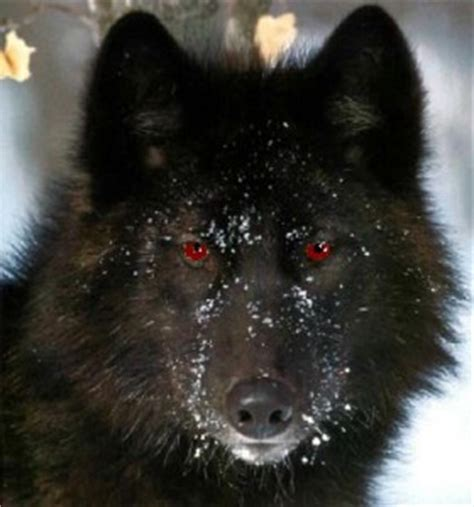 black wolf twelve days of christmas day 1 colin harvey angry robot