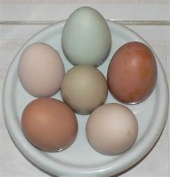 barred rock egg color my barred rock is laying white eggs page 2