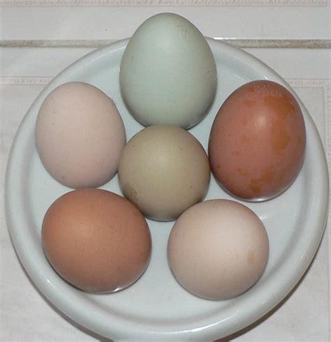 barred rock egg color barred rock egg color photo album happy easter day