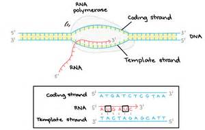 what is a template strand what is a template in dna 28 images dnatemplates dna