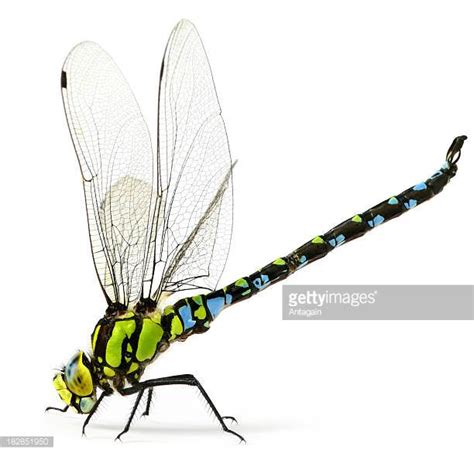 Custom Table Top Dragonfly Stock Photos And Pictures Getty Images
