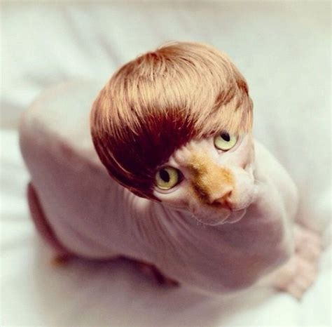 cat wig bieber wig for cats to laugh