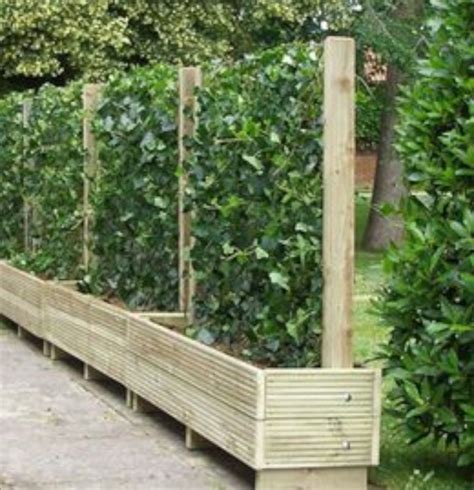 i live in florida and want to make a privacy fence using trellises and vines what are some good
