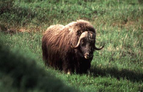 ox horns hair musk ox lasp cu boulder