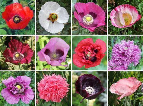 poppy flower colors breadseed or opium poppy papaver somniferum master