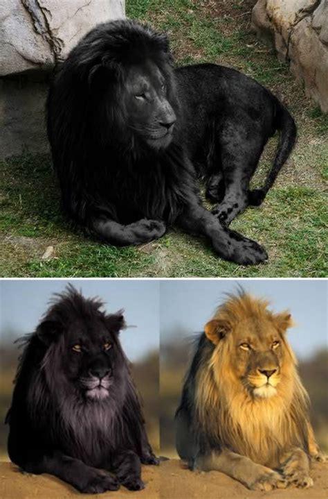 amazing melanistic animals oddee
