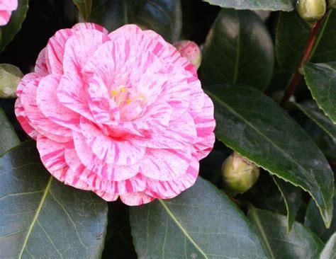 Arrosage Lauriers Roses by 1000 Id 233 Es 224 Propos De Arbuste A Fleur Sur