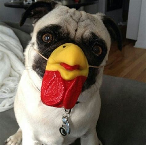 nose pug accessory of the day pug chicken nose the poke
