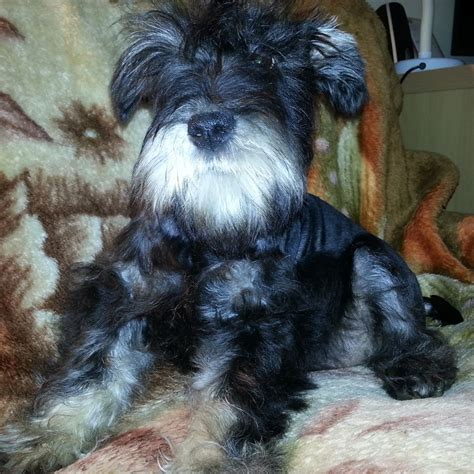 miniature schnauzer puppies for sale in pa miniature schnauzer puppies for sale in and breeders miniature breeds picture