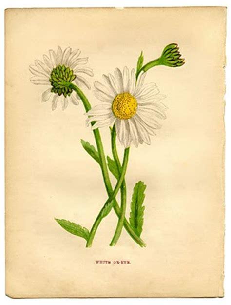 instant art printable daisy botanical  graphics fairy
