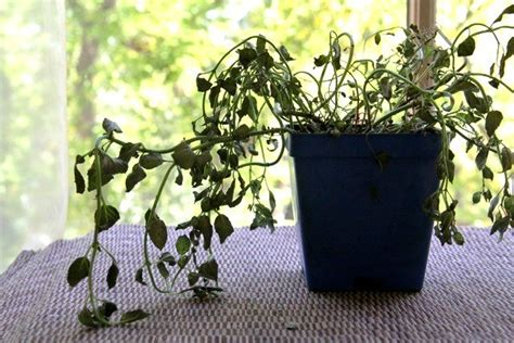 low sunlight plants why do plants die