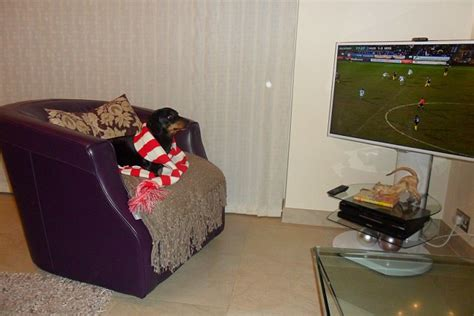armchair supporter premier league dog football fans chelsea supporter max