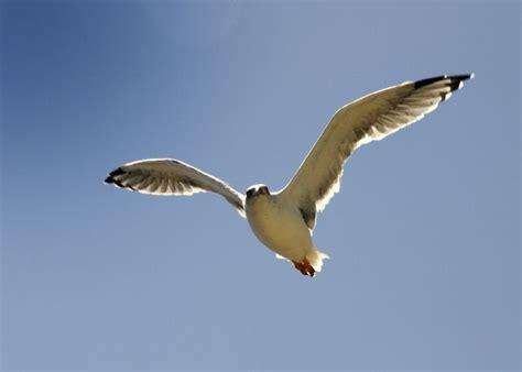 imagenes sensoriales de la obra juan salvador gaviota gaviota volando fotos de naturaleza