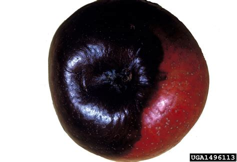 apple black apple black rot control learn about black rot disease in