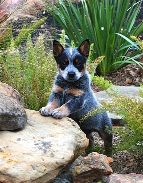 Miss Ruffles Inherits Everything best 25 blue heeler ideas on cattle dogs