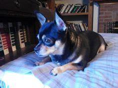 My Chihuahua Fidel Sun by Chihuahua Enjoying The Sun And Morning Chihuahuas