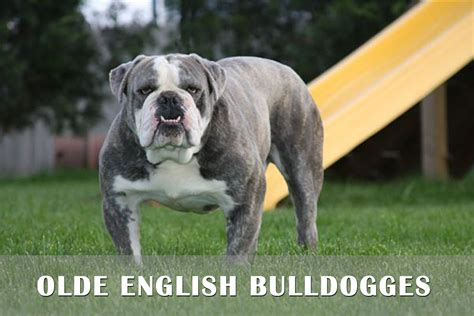 puppies for sale in pa 100 olde bulldogge puppy gallery