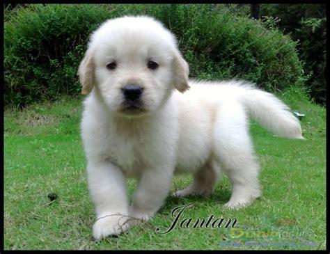 anjing golden retriever dunia anjing jual anjing golden retriever jual anjing golden retriever