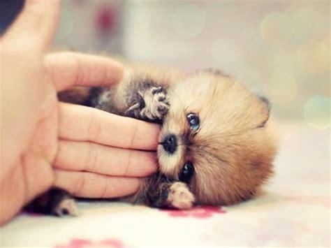 adorable pomeranian baby pomeranian breeds picture