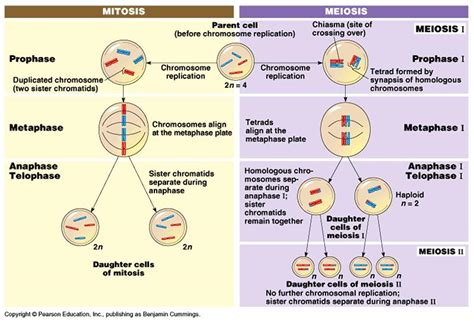 meiosis vs mitosis venn diagram missgbiology mitosis and meiosis