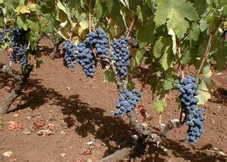 uva da tavola pugliese il vitigno pugliese nero di troia tra storia e leggenda
