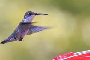 hummingbirds at midsummer neihtn