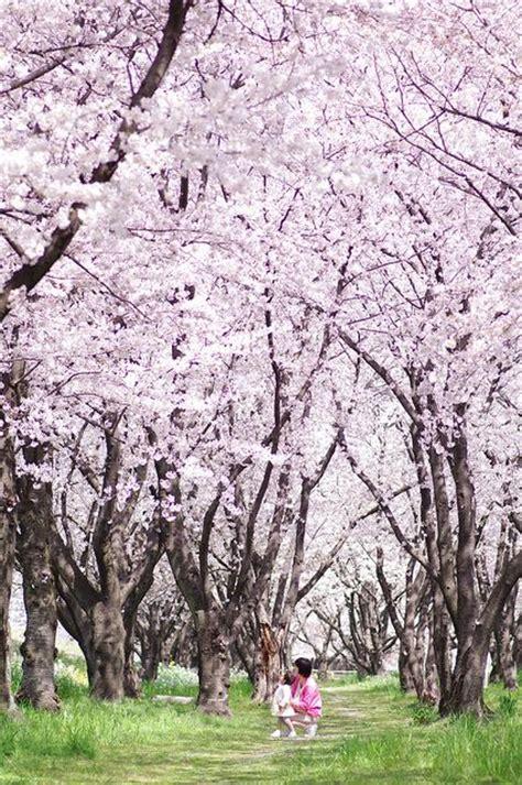 Japanischer Garten Pflanzen 352 by 118 Besten Pink Trees Bilder Auf Prunus