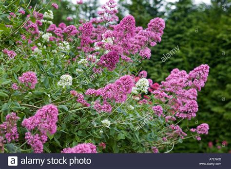 valerian with pink flowers centranthus ruber and white