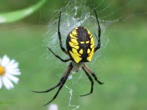 black spider with yellow stripes