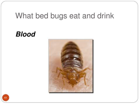 what do bed bugs eat what eats bed bugs 28 images tourists are blamed after