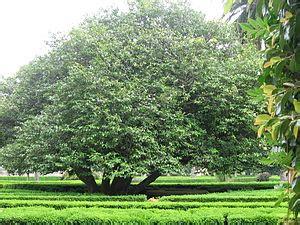 plomeria olivera 193 rbores senlleiras de galicia wikipedia a enciclopedia