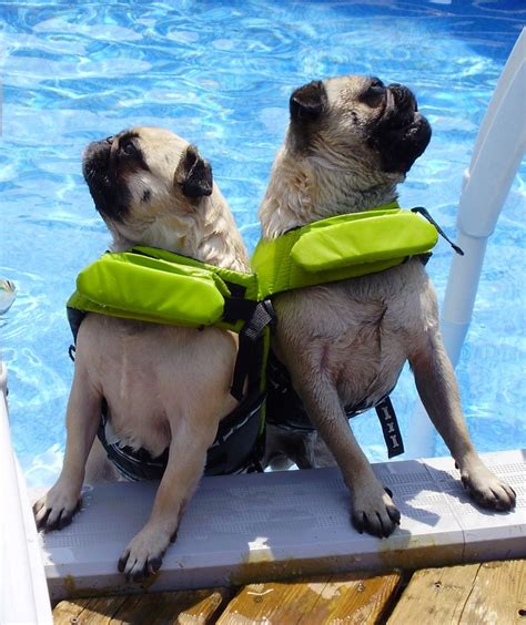pug jacket swimming the 26 best images about pugs swimming pug on vests swim and pools