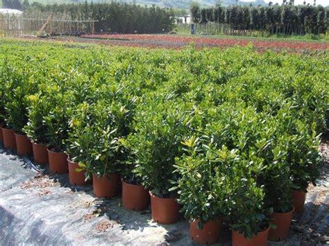 piante nane da giardino pitosforo pianta piante da giardino caratteristiche